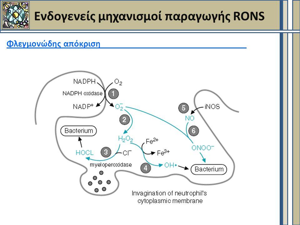 Ενδογενείς μηχανισμοί παραγωγής RONS Φλεγμονώδης απόκριση