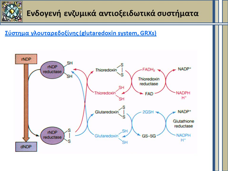 Ενδογενή ενζυμικά αντιοξειδωτικά συστήματα Σύστημα γλουταρεδοξίνης (glutaredoxin system, GRXs)