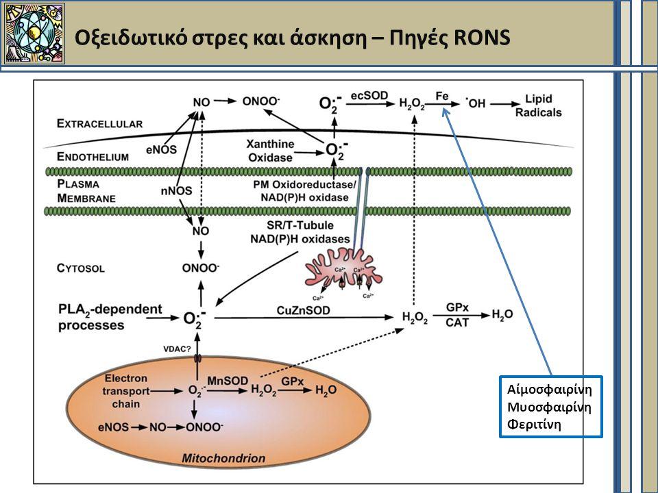 Οξειδωτικό στρες και άσκηση – Πηγές RONS Αίμοσφαιρίνη Μυοσφαιρίνη Φεριτίνη