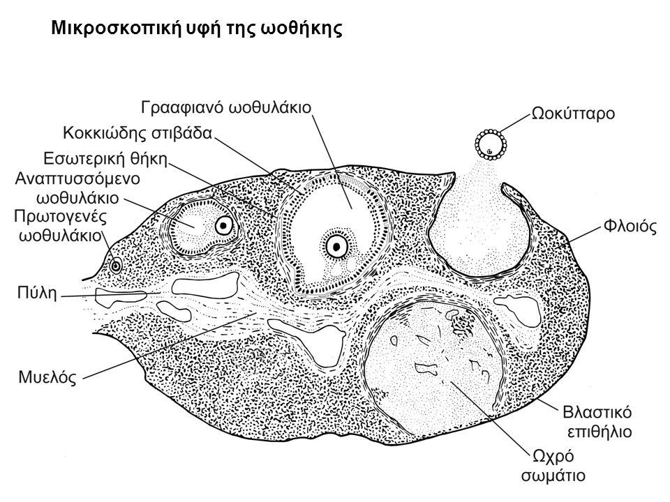Μικροσκοπική υφή της ωοθήκης