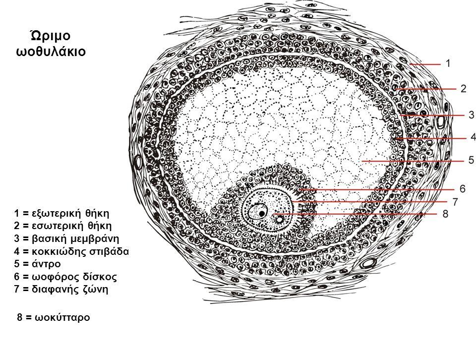 1 = εξωτερική θήκη 2 = εσωτερική θήκη 3 = βασική μεμβράνη 4 = κοκκιώδης στιβάδα, 5 = άντρο 6 = ωοφόρος δίσκος 7 = διαφανής ζώνη 8 = ωοκύτταρο Ώριμο ωοθυλάκιο