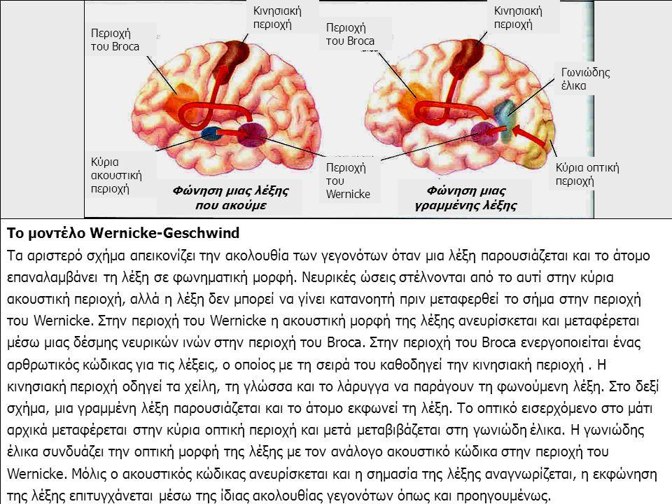 Το μοντέλο Wernicke-Geschwind Τα αριστερό σχήμα απεικονίζει την ακολουθία των γεγονότων όταν μια λέξη παρουσιάζεται και το άτομο επαναλαμβάνει τη λέξη σε φωνηματική μορφή.