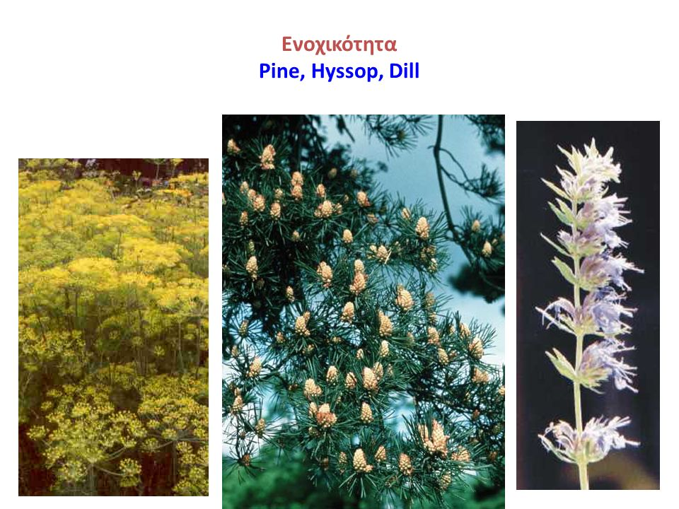 Ενοχικότητα Pine, Hyssop, Dill