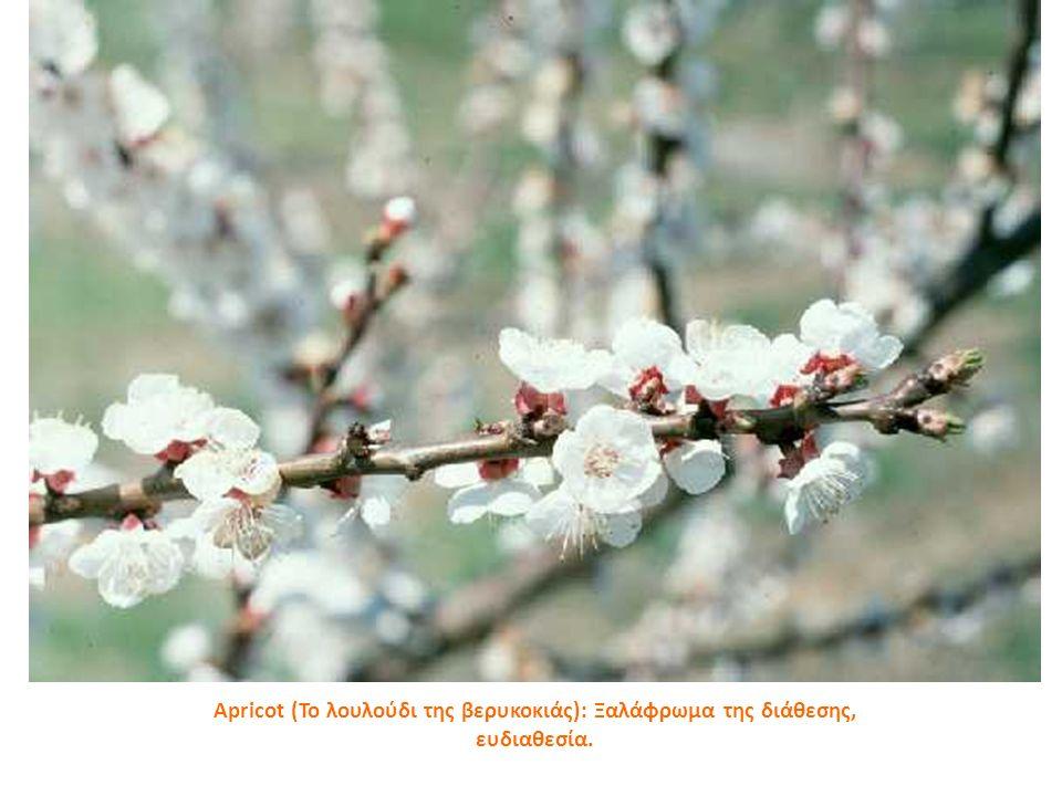 Apricot (Το λουλούδι της βερυκοκιάς): Ξαλάφρωμα της διάθεσης, ευδιαθεσία.