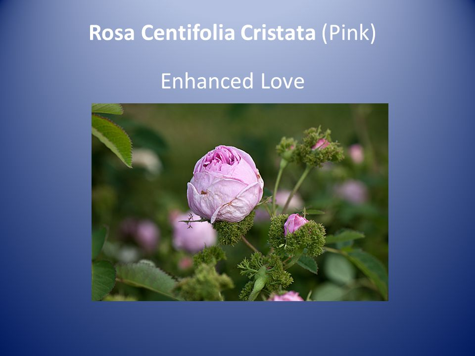 Rosa Centifolia Cristata (Pink) Enhanced Love