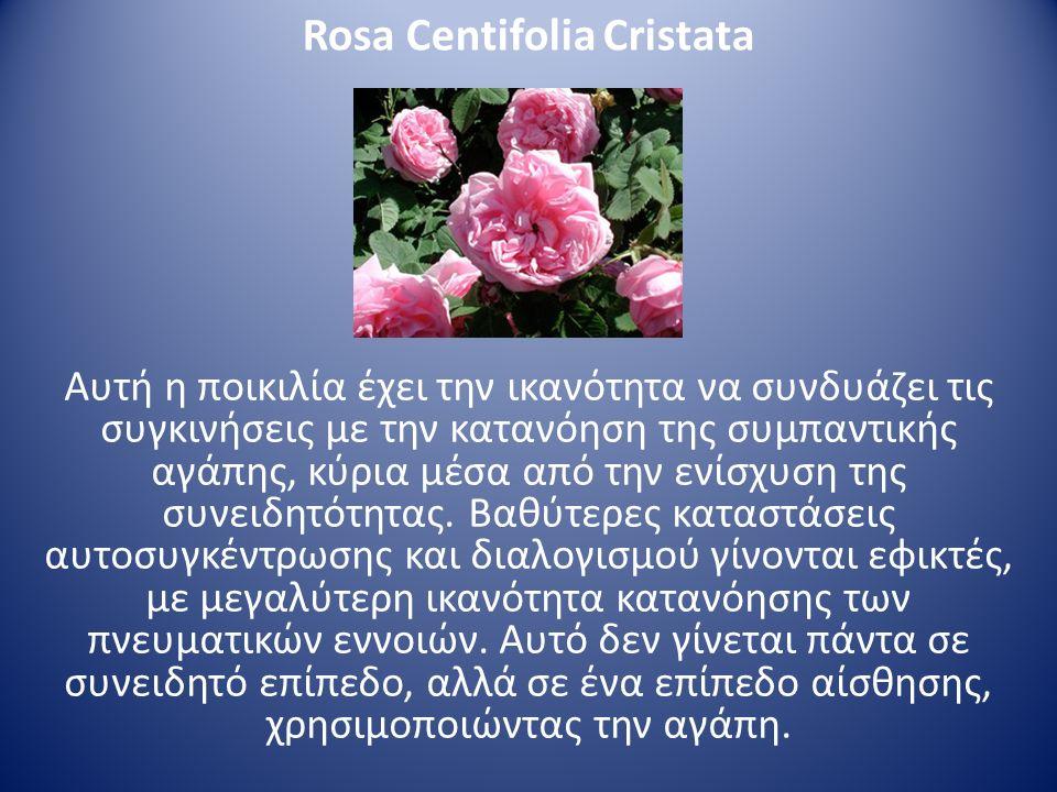 Rosa Centifolia Cristata Αυτή η ποικιλία έχει την ικανότητα να συνδυάζει τις συγκινήσεις με την κατανόηση της συμπαντικής αγάπης, κύρια μέσα από την ε