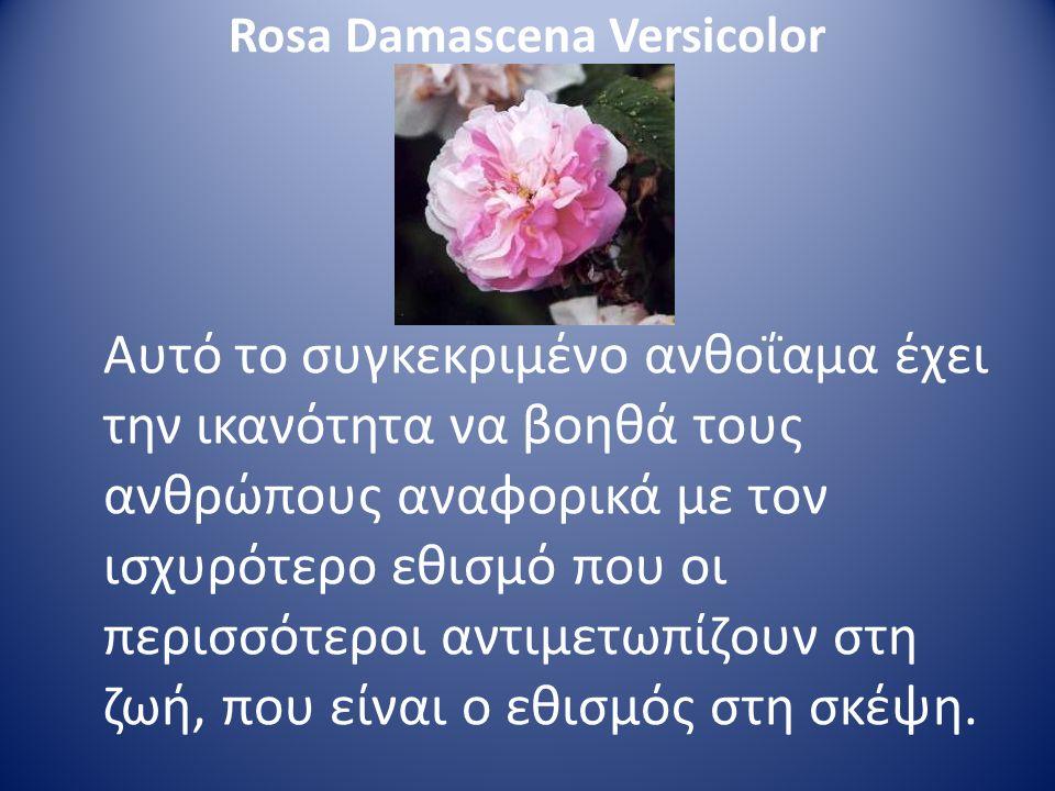 Rosa Damascena Versicolor Αυτό το συγκεκριμένο ανθοΐαμα έχει την ικανότητα να βοηθά τους ανθρώπους αναφορικά με τον ισχυρότερο εθισμό που οι περισσότε