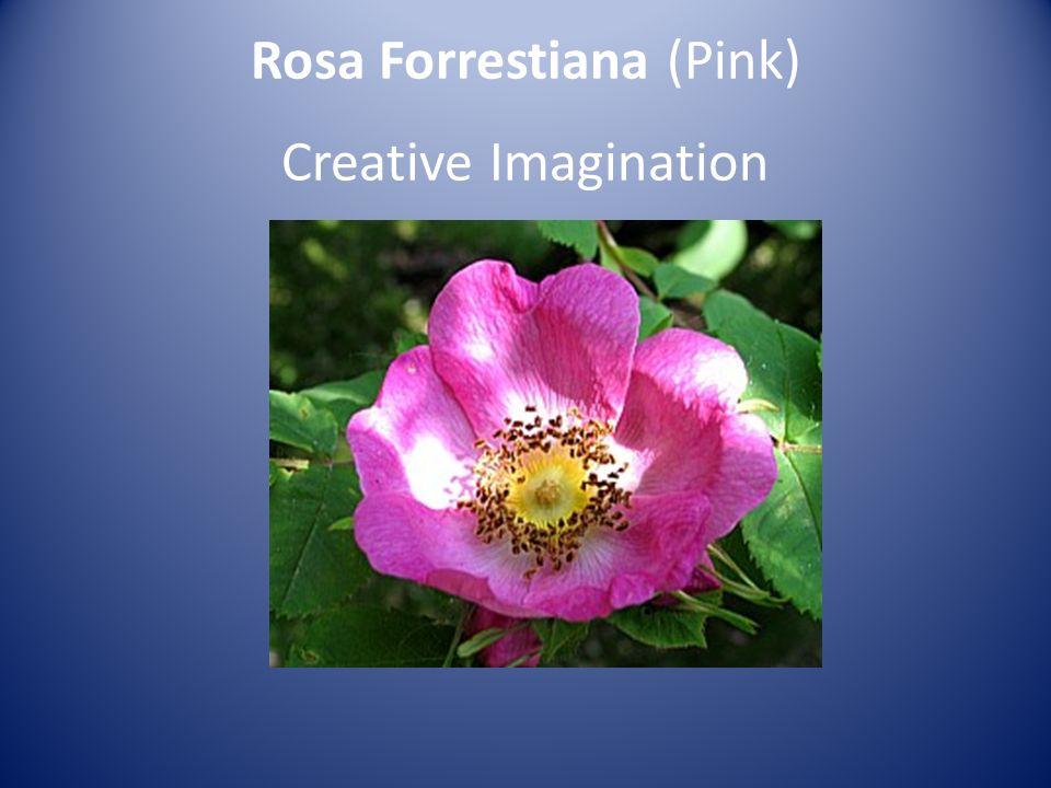 Rosa Forrestiana (Pink) Creative Imagination