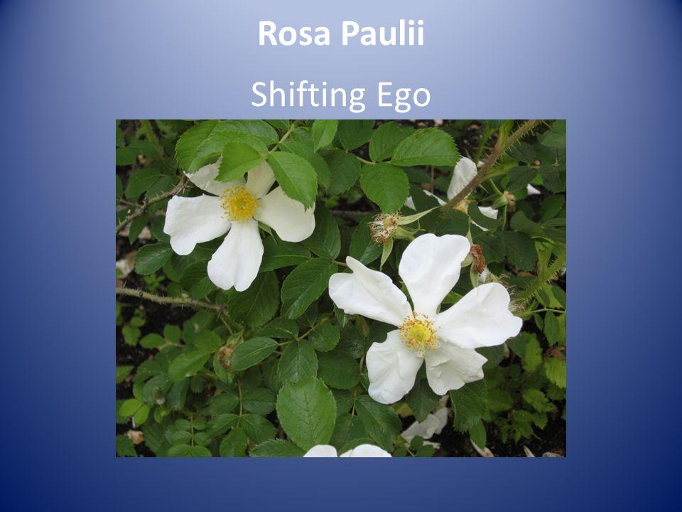 Rosa Paulii Shifting Ego