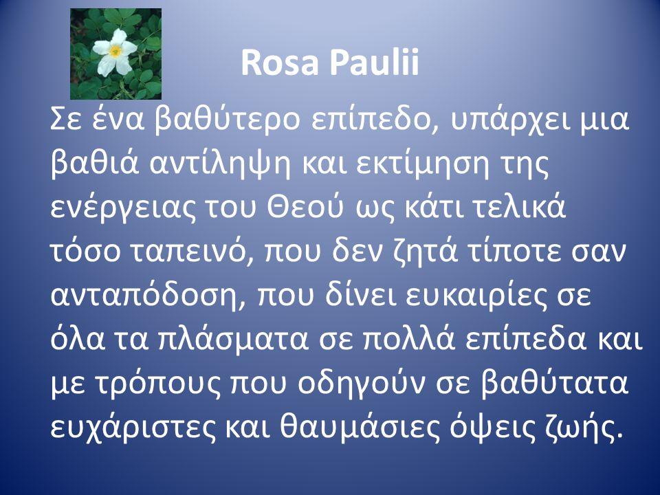 Rosa Paulii Σε ένα βαθύτερο επίπεδο, υπάρχει μια βαθιά αντίληψη και εκτίμηση της ενέργειας του Θεού ως κάτι τελικά τόσο ταπεινό, που δεν ζητά τίποτε σ