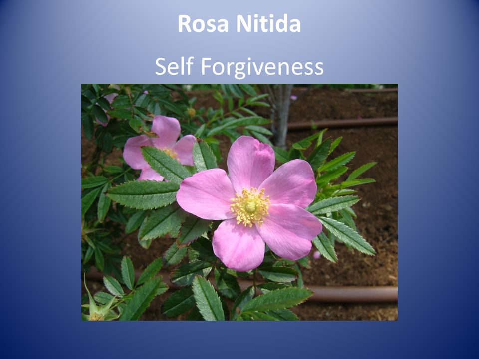 Rosa Nitida Self Forgiveness
