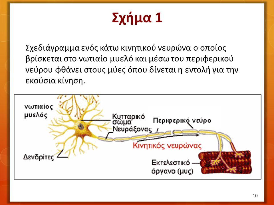 10 Σχεδιάγραμμα ενός κάτω κινητικού νευρώνα ο οποίος βρίσκεται στο νωτιαίο μυελό και μέσω του περιφερικού νεύρου φθάνει στους μύες όπου δίνεται η εντολή για την εκούσια κίνηση.