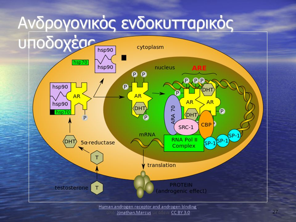 Ανδρογονικός ενδοκυτταρικός υποδοχέας Human androgen receptor and androgen binding , από Jonathan.Marcus με άδεια CC BY 3.0Human androgen receptor and androgen bindingJonathan.MarcusCC BY 3.0 27