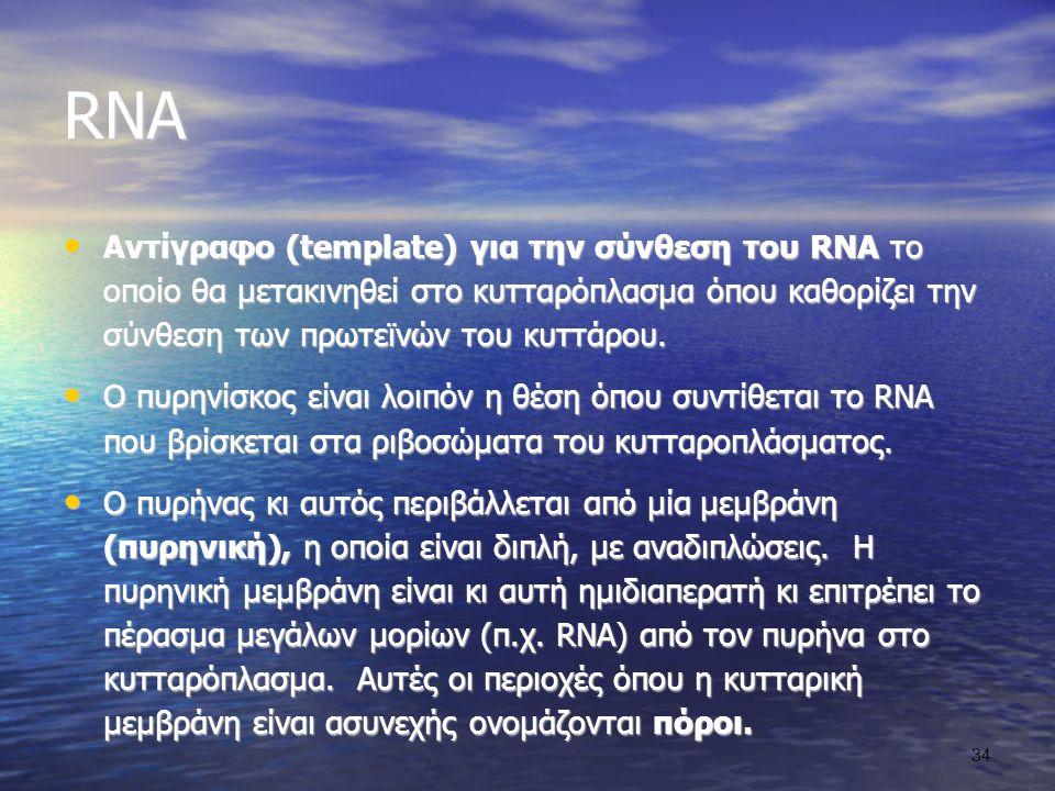 RNA Αντίγραφο (template) για την σύνθεση του RNA το οποίο θα μετακινηθεί στο κυτταρόπλασμα όπου καθορίζει την σύνθεση των πρωτεϊνών του κυττάρου.
