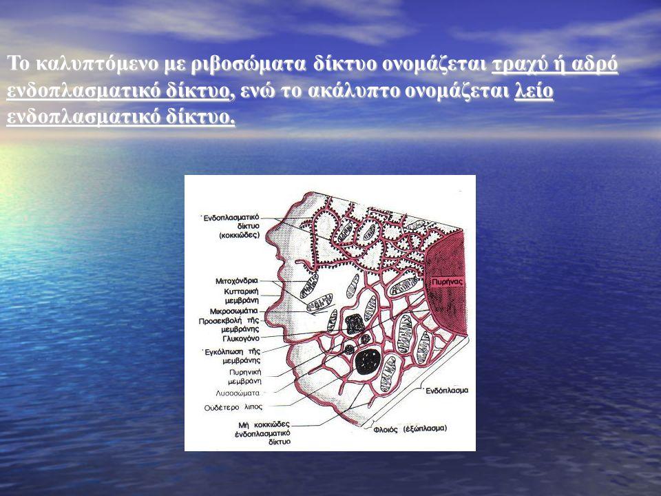 Το καλυπτόμενο με ριβοσώματα δίκτυο ονομάζεται τραχύ ή αδρό ενδοπλασματικό δίκτυο, ενώ το ακάλυπτο ονομάζεται λείο ενδοπλασματικό δίκτυο.