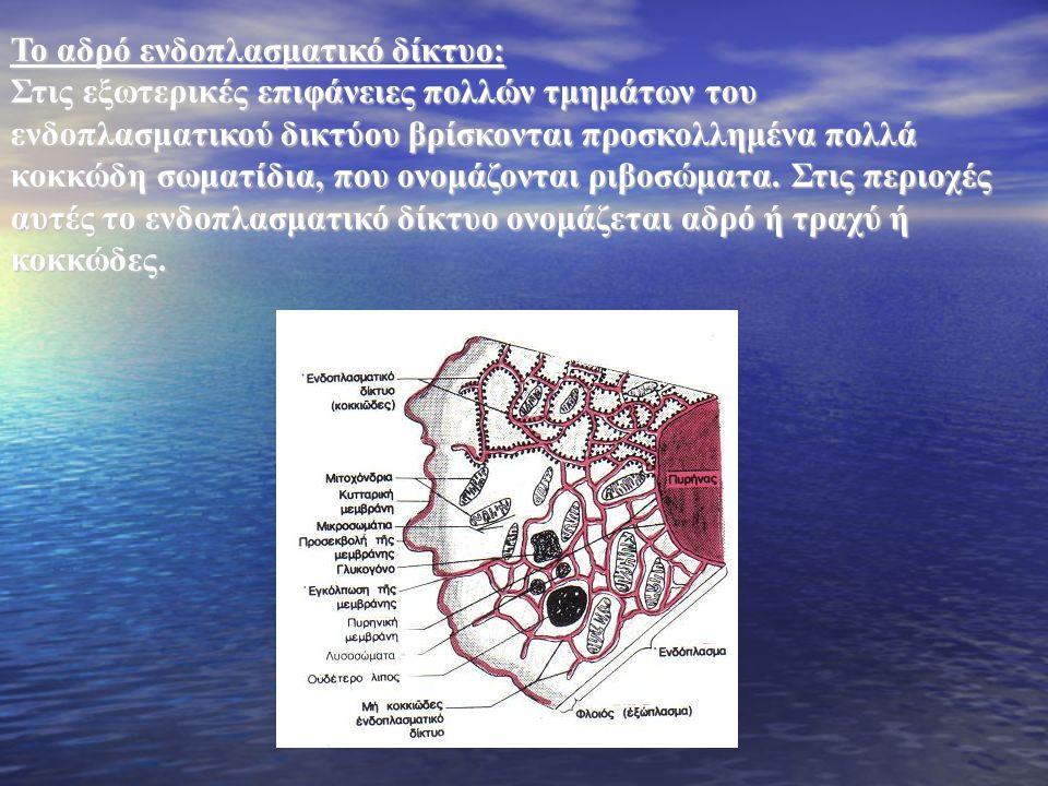 Το αδρό ενδοπλασματικό δίκτυο: Στις εξωτερικές επιφάνειες πολλών τμημάτων του ενδοπλασματικού δικτύου βρίσκονται προσκολλημένα πολλά κοκκώδη σωματίδια, που ονομάζονται ριβοσώματα.