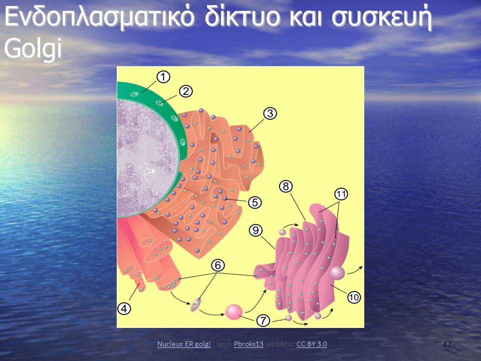 Eνδοπλασματικό δίκτυο και συσκευή Golgi Nucleus ER golgi , από Pbroks13 με άδεια CC BY 3.0Nucleus ER golgiPbroks13CC BY 3.0 47