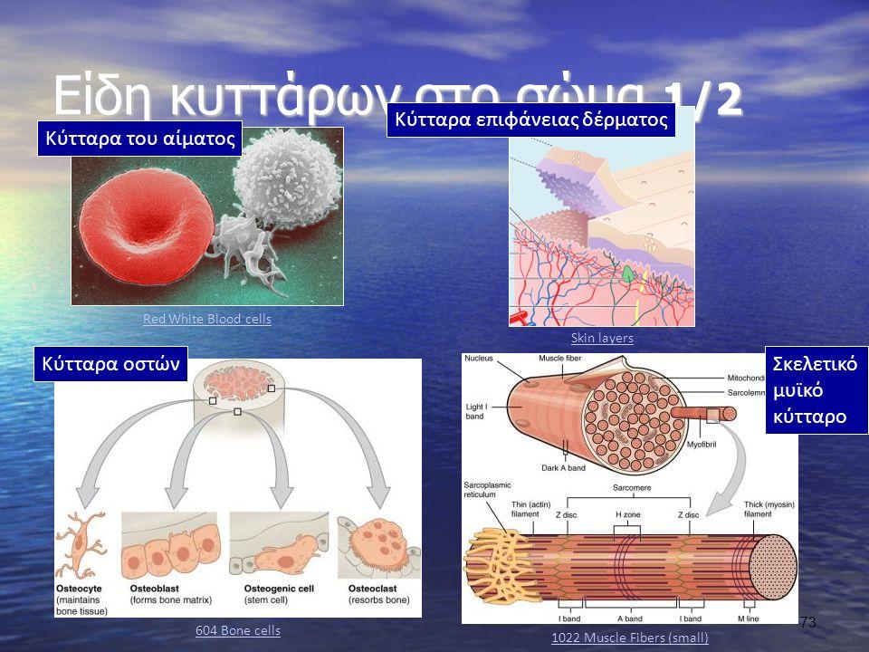 Είδη κυττάρων στο σώμα 1/2 Red White Blood cells Κύτταρα του αίματος Skin layers Κύτταρα επιφάνειας δέρματος Κύτταρα οστών 604 Bone cells 1022 Muscle Fibers (small) Σκελετικό μυϊκό κύτταρο 73