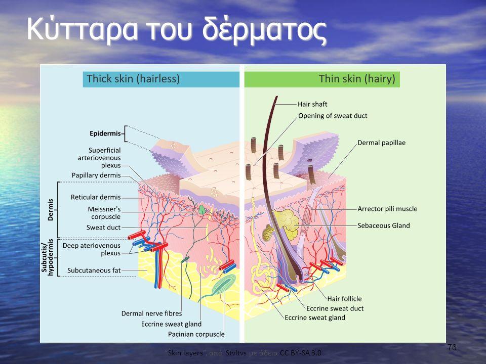 Κύτταρα του δέρματος Skin layers , από Stvltvs με άδεια CC BY-SA 3.0 76