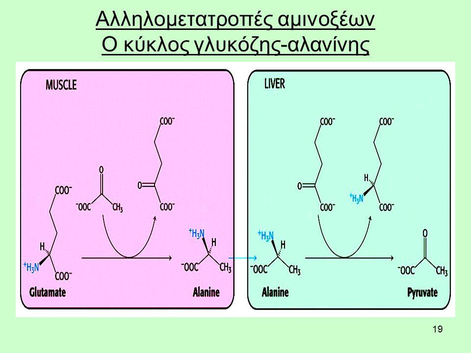 19 Αλληλομετατροπές αμινοξέων Ο κύκλος γλυκόζης-αλανίνης