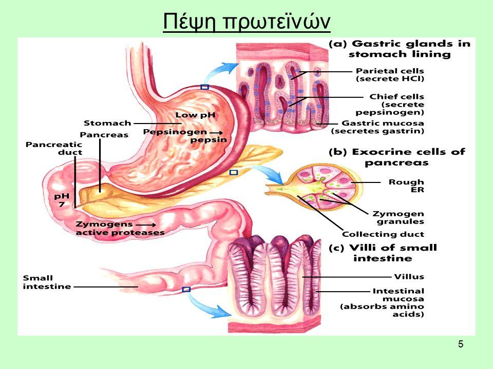 5 Πέψη πρωτεϊνών