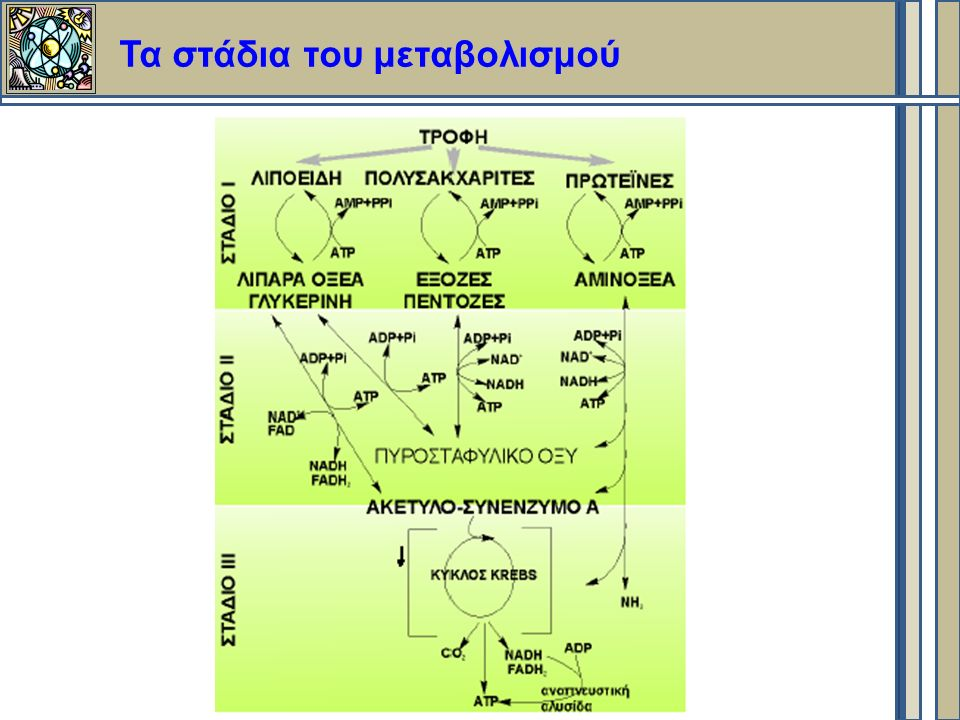 Τα στάδια του μεταβολισμού