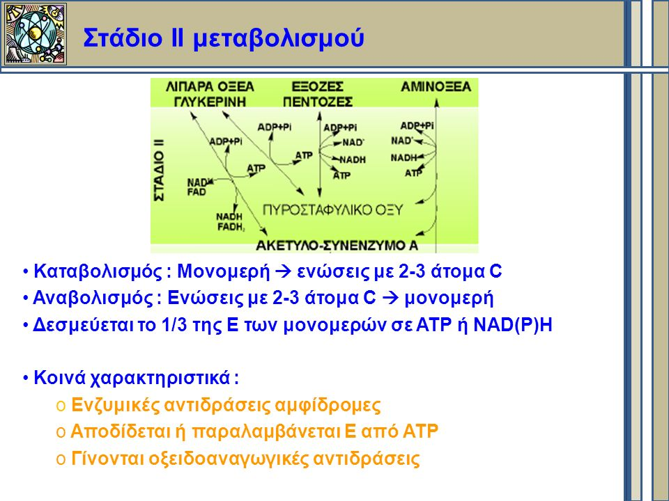 Στάδιο ΙI μεταβολισμού Καταβολισμός : Μονομερή  ενώσεις με 2-3 άτομα C Αναβολισμός : Eνώσεις με 2-3 άτομα C  μονομερή Δεσμεύεται το 1/3 της Ε των μονομερών σε ΑΤΡ ή NAD(P)H Κοινά χαρακτηριστικά : o Ενζυμικές αντιδράσεις αμφίδρομες o Αποδίδεται ή παραλαμβάνεται Ε από ΑΤΡ o Γίνονται οξειδοαναγωγικές αντιδράσεις