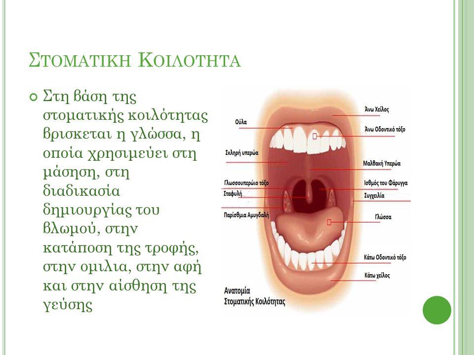 Σ ΤΟΜΑΤΙΚΗ Κ ΟΙΛΟΤΗΤΑ Στη βάση της στοματικής κοιλότητας βρισκεται η γλώσσα, η οποία χρησιμεύει στη μάσηση, στη διαδικασία δημιουργίας του βλωμού, στην κατάποση της τροφής, στην ομιλια, στην αφή και στην αίσθηση της γεύσης