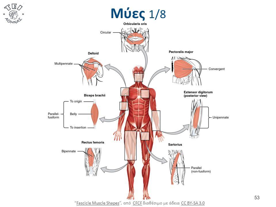 53 Μύες 1/8 Fascicle Muscle Shapes , από CFCF διαθέσιμο με άδεια CC BY-SA 3.0Fascicle Muscle ShapesCFCFCC BY-SA 3.0
