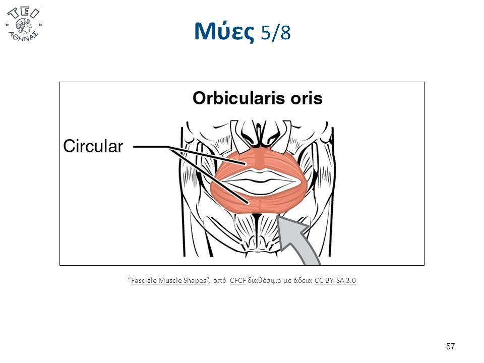 Μύες 5/8 57 Fascicle Muscle Shapes , από CFCF διαθέσιμο με άδεια CC BY-SA 3.0Fascicle Muscle ShapesCFCFCC BY-SA 3.0