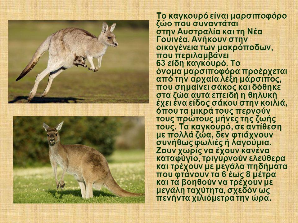 Το καγκουρό είναι μαρσιποφόρο ζώο που συναντάται στην Αυστραλία και τη Νέα Γουινέα. Ανήκουν στην οικογένεια των μακρόποδων, που περιλαμβάνει 63 είδη κ