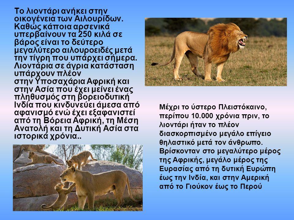 Το λιοντάρι ανήκει στην οικογένεια των Αιλουρίδων. Καθώς κάποια αρσενικά υπερβαίνουν τα 250 κιλά σε βάρος είναι το δεύτερο μεγαλύτερο αιλουροειδές μετ