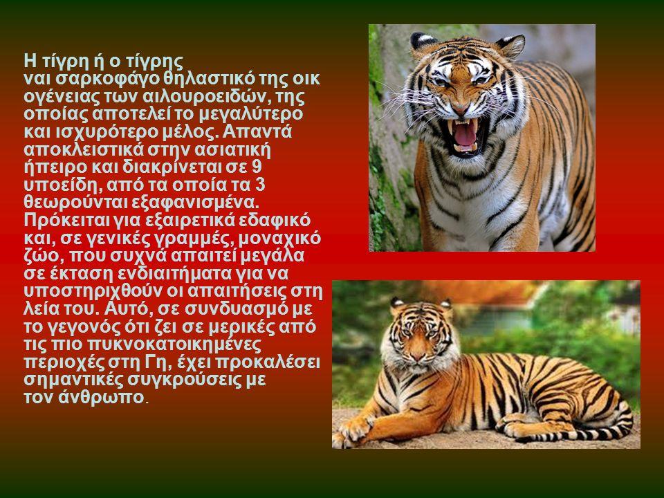 Η τίγρη ή ο τίγρης ναι σαρκοφάγο θηλαστικό της οικ ογένειας των αιλουροειδών, της οποίας αποτελεί το μεγαλύτερο και ισχυρότερο μέλος. Απαντά αποκλειστ