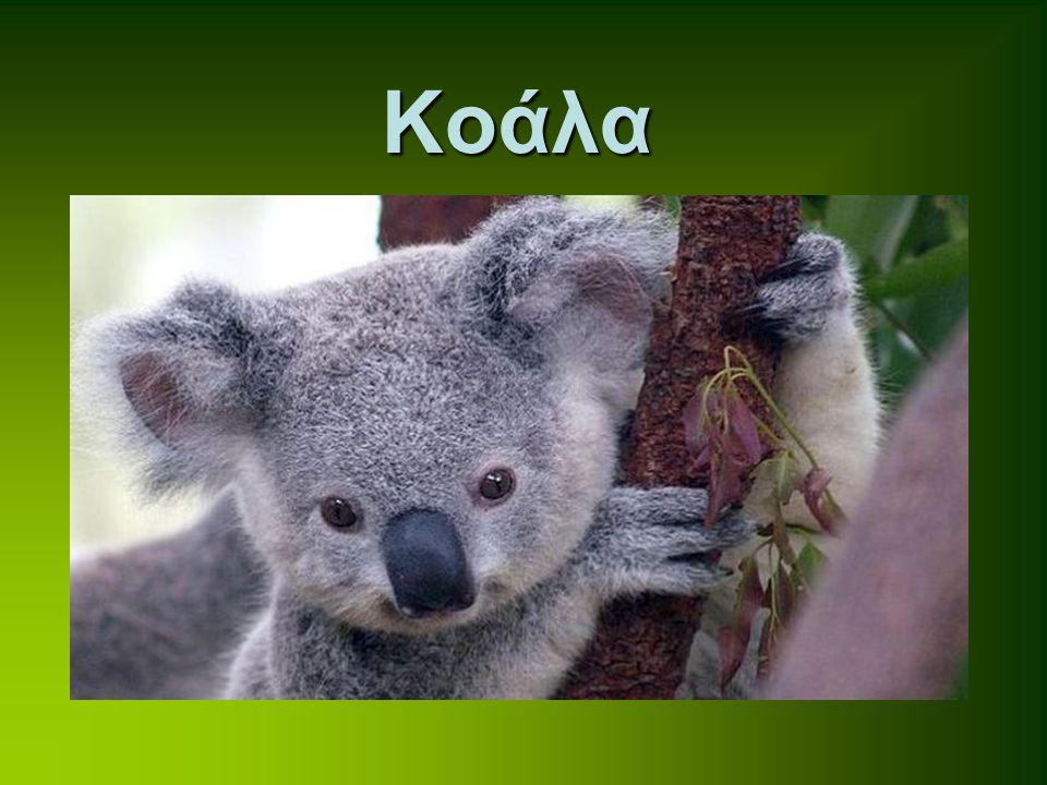 Το καγκουρό είναι μαρσιποφόρο ζώο που συναντάται στην Αυστραλία και τη Νέα Γουινέα.