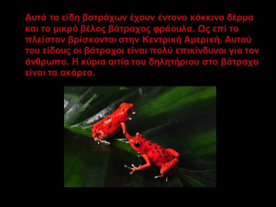 Αυτά τα είδη βατράχων έχουν έντονο κόκκινο δέρμα και το μικρό βέλος βάτραχος φράουλα. Ως επί το πλείστον βρίσκονται στην Κεντρική Αμερική. Αυτού του ε