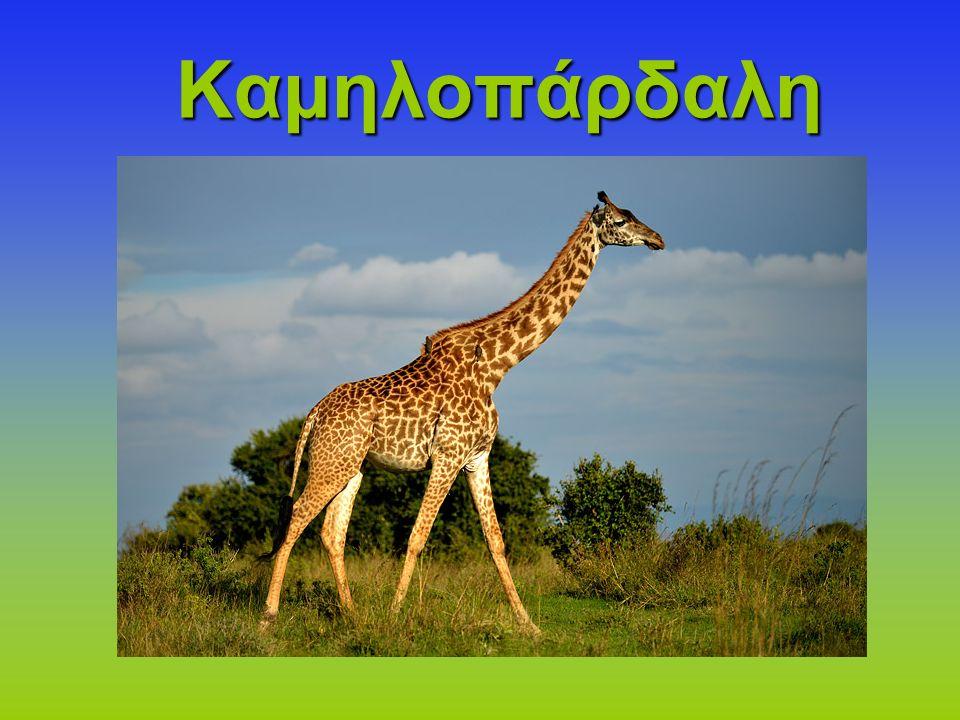 Η καμηλοπάρδαλη είναι το ψηλότερο ζώο στον κόσμο.Ανήκει στην τάξη των Αρτιοδάκτυλων.