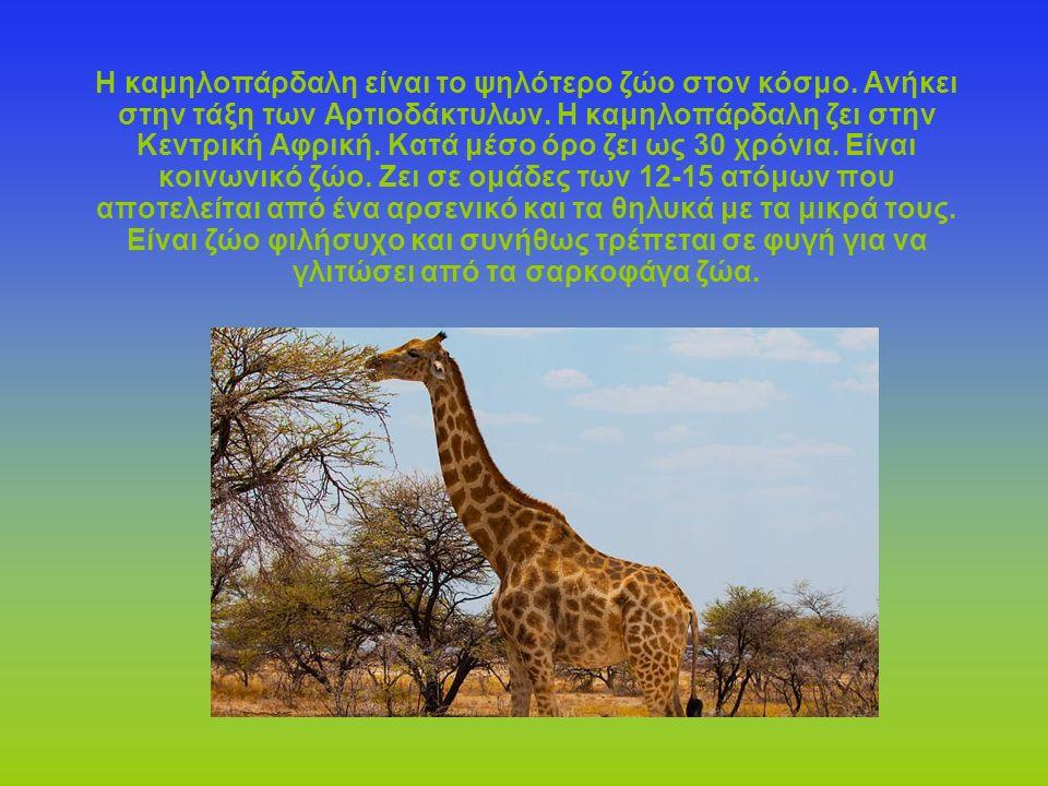 Η καμηλοπάρδαλη είναι το ψηλότερο ζώο στον κόσμο. Ανήκει στην τάξη των Αρτιοδάκτυλων. Η καμηλοπάρδαλη ζει στην Κεντρική Αφρική. Κατά μέσο όρο ζει ως 3