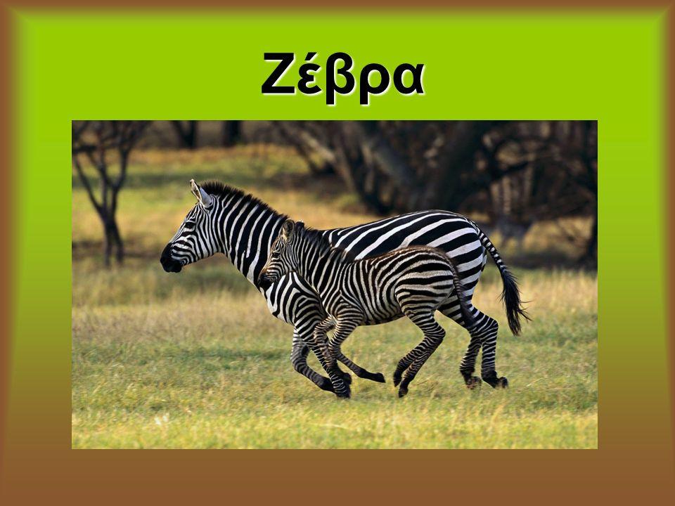 Η ζέβρα είναι περισσοδάκτυλο θηλαστικό ζώο, συγγενής του αλόγου.