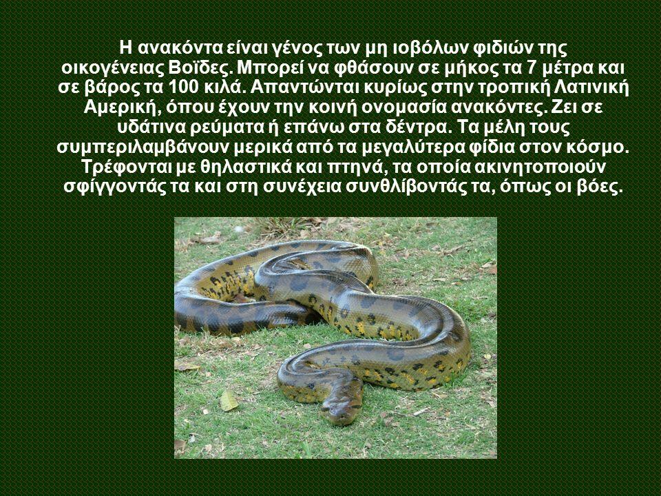 Η ανακόντα είναι γένος των μη ιοβόλων φιδιών της οικογένειας Βοϊδες. Μπορεί να φθάσουν σε μήκος τα 7 μέτρα και σε βάρος τα 100 κιλά. Απαντώνται κυρίως