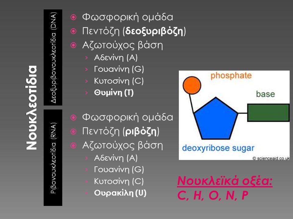 Δεοξυριβονουκλεοτίδια ( DNA) Ριβονουκλεοτίδια ( RNA)  Φωσφορική ομάδα  Πεντόζη ( δεοξυριβόζη )  Αζωτούχος βάση › Αδενίνη (A) › Γουανίνη (G) › Κυτοσ