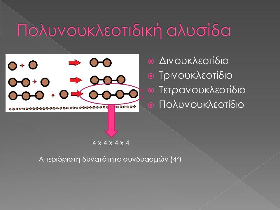  Δινουκλεοτίδιο  Τρινουκλεοτίδιο  Τετρανουκλεοτίδιο  Πολυνουκλεοτίδιο 4 x 4 x 4 x 4 Απεριόριστη δυνατότητα συνδυασμών (4 ν )