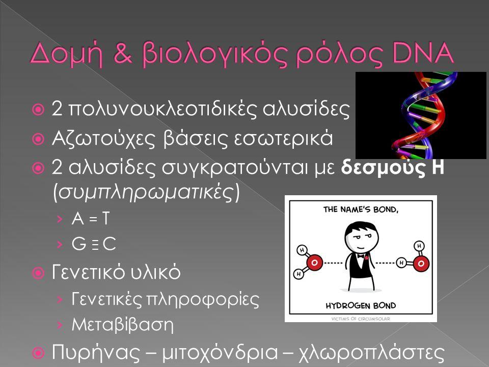  2 πολυνουκλεοτιδικές αλυσίδες  Αζωτούχες βάσεις εσωτερικά  2 αλυσίδες συγκρατούνται με δεσμούς H (συμπληρωματικές) › A = T › G Ξ C  Γενετικό υλικ