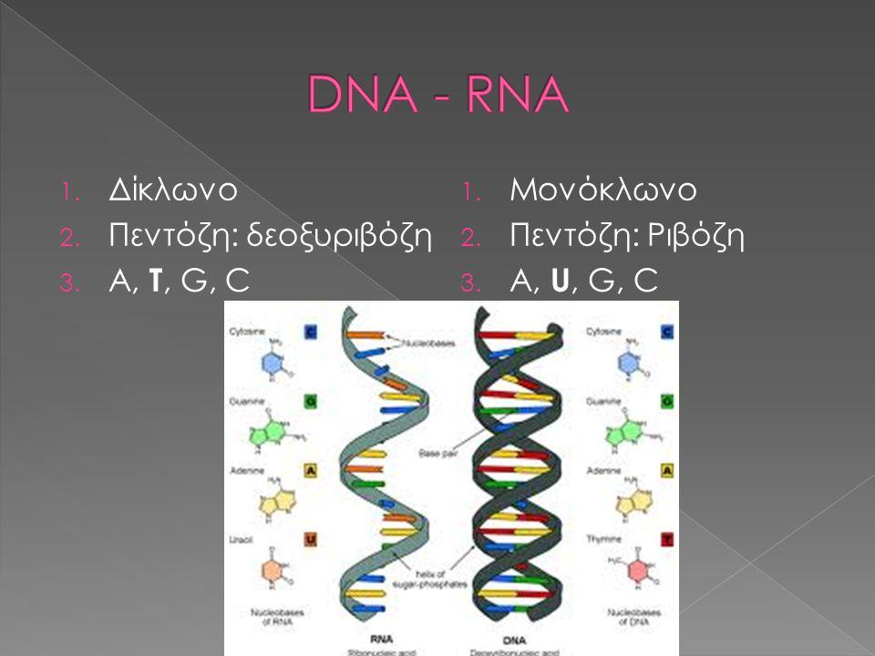 1. Δίκλωνο 2. Πεντόζη: δεοξυριβόζη 3. A, T, G, C 1. Μονόκλωνο 2. Πεντόζη: Ριβόζη 3. A, U, G, C