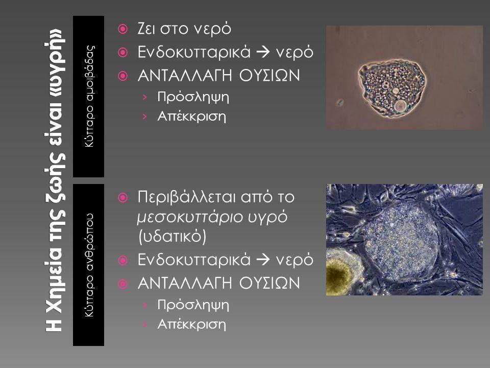 Κύτταρο αμοιβάδας Κύτταρο ανθρώπου  Ζει στο νερό  Ενδοκυτταρικά  νερό  ΑΝΤΑΛΛΑΓΗ ΟΥΣΙΩΝ › Πρόσληψη › Απέκκριση  Περιβάλλεται από το μεσοκυττάριο