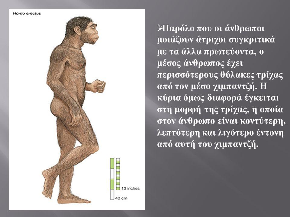  Παρόλο που οι άνθρωποι μοιάζουν άτριχοι συγκριτικά με τα άλλα πρωτεύοντα, ο μέσος άνθρωπος έχει περισσότερους θύλακες τρίχας από τον μέσο χιμπαντζή.