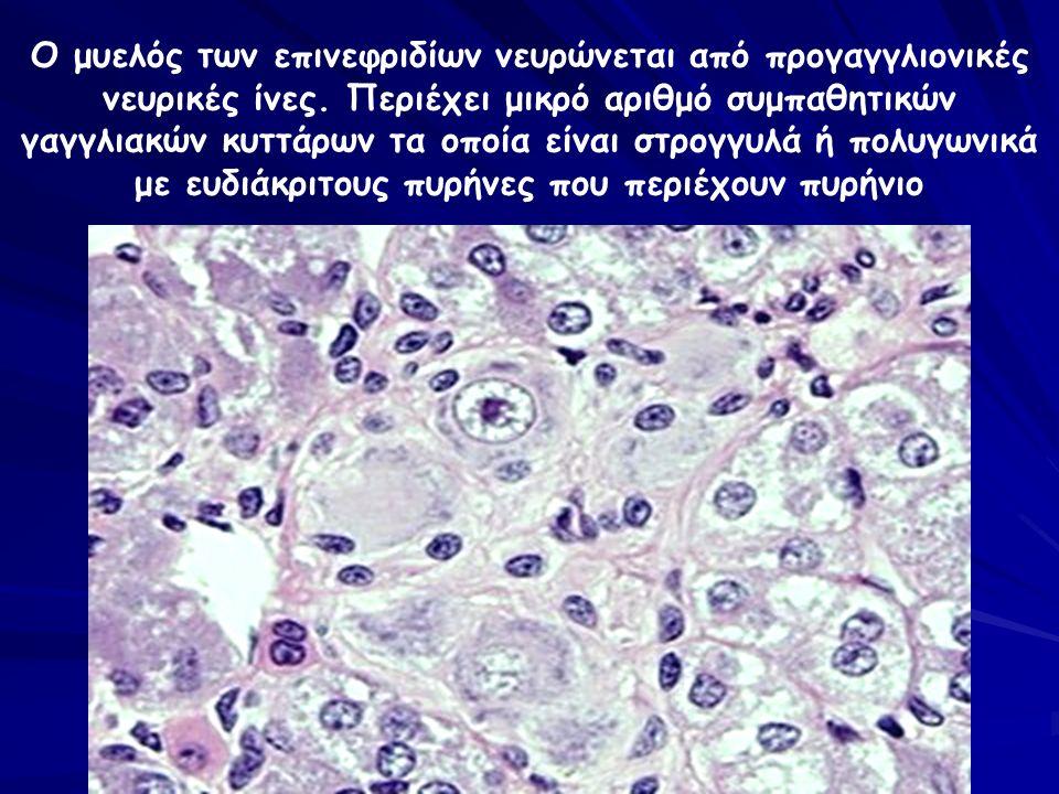 Ο μυελός των επινεφριδίων νευρώνεται από προγαγγλιονικές νευρικές ίνες. Περιέχει μικρό αριθμό συμπαθητικών γαγγλιακών κυττάρων τα οποία είναι στρογγυλ