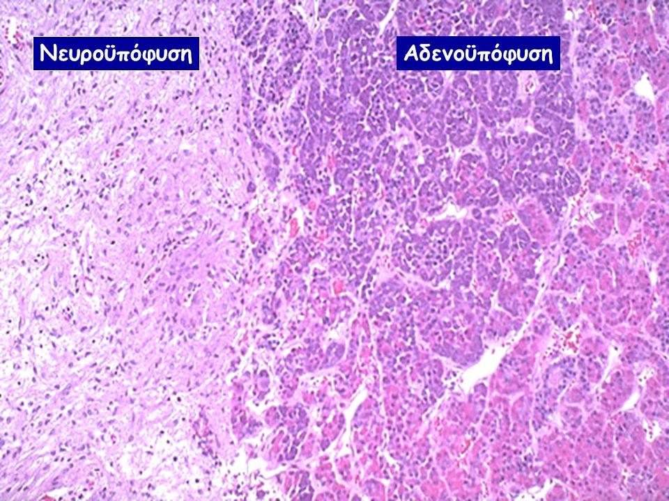 Η στοιβάδα που βρίσκεται αμέσως κάτω από την κάψα από συνδετικό ιστό είναι η σπειροειδής ζώνη, στην οποία κυλινδρικά ή πυραμιδικά κύτταρα διατάσσονται σε τοξοειδείς αθροίσεις και περιβάλλονται από τριχοειδή