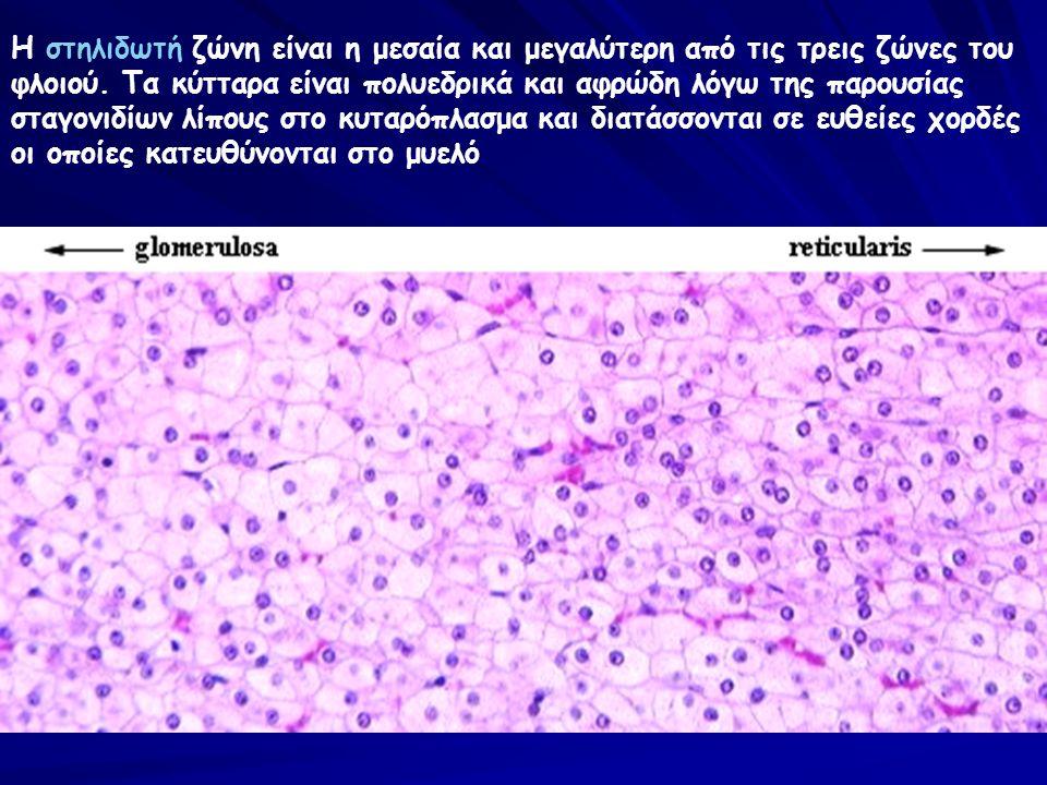Η στηλιδωτή ζώνη είναι η μεσαία και μεγαλύτερη από τις τρεις ζώνες του φλοιού. Τα κύτταρα είναι πολυεδρικά και αφρώδη λόγω της παρουσίας σταγονιδίων λ