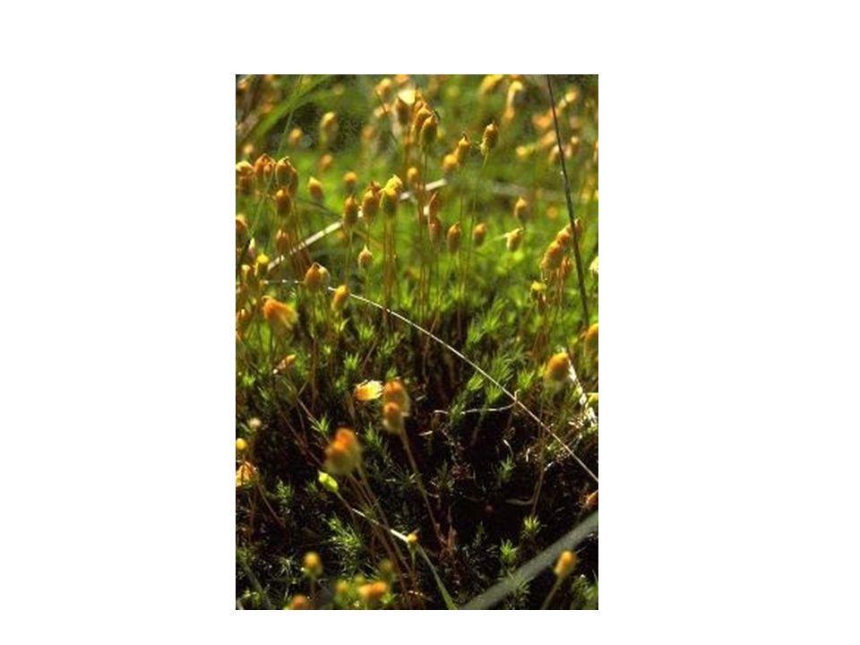 ΣΥΝΟΜΟTΑΞΙΑ: ΒΡΥΟΦΥTΑ. Έχουν τα εξής βασικά χαρακτηριστικά: Είναι συνήθως πιο σύνθετα από τα θαλλόφυτα, μια και έχουν απλά φύλλα ή σχηματισμούς που μο