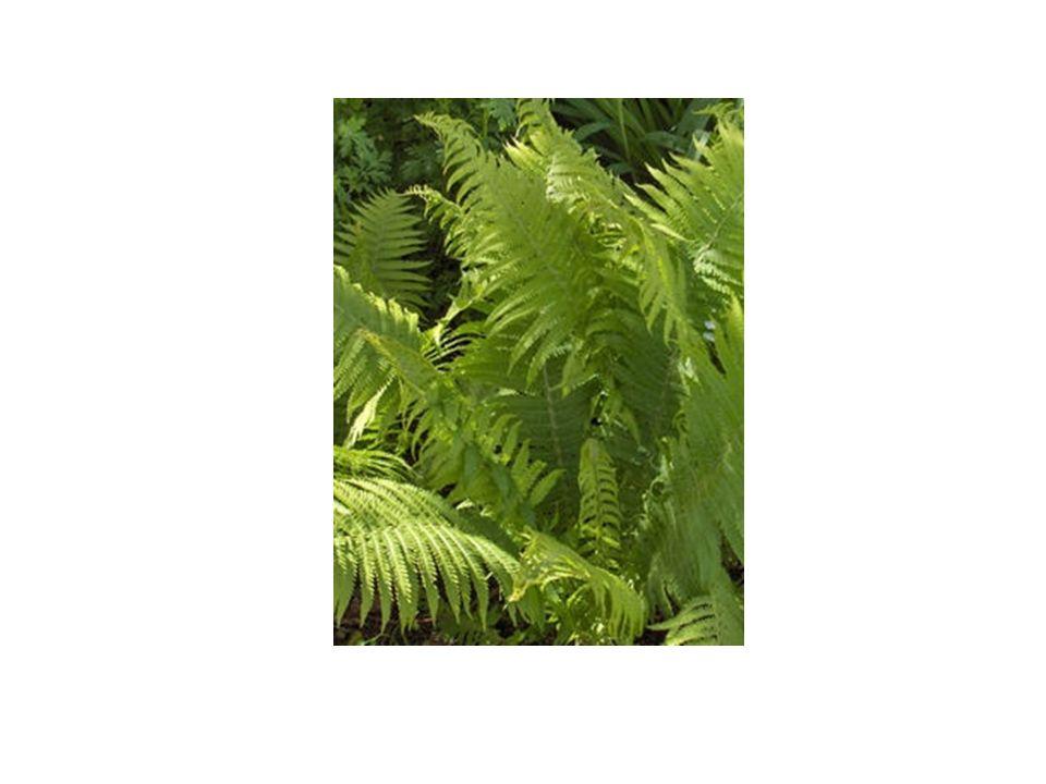Επίπεδο οργάνωσης Tα φυτά τα οποία ταξινομούνται από εδώ και κάτω έχουν ειδικά αγγεία, τις τραχείες, για τη μεταφορά του νερού και των διαλυτών αλάτων, αναγκαία προσαρμογή για τη ζωή στην ξηρά, γιατί επιπλέον προσφέρουν και στήριξη στο φυτό.